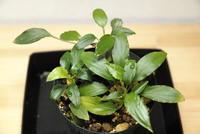 "Homalomena sp. ""Mahakam hulu"" - PlantsCade -2nd effort"