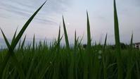 夏の日差しになりました。イネは積算温度で成長します。 - 百笑通信 ブログ版