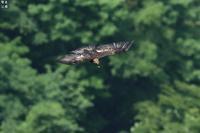 森の王者 イヌワシ - 野鳥公園