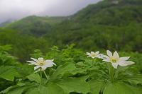 栂池自然園の花 その1 - 花鳥風景