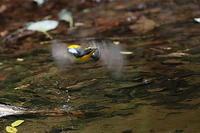 水場のキビタキ - 上州自然散策2