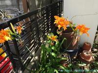 カンゾウの花 - お山な日々・・・時々町