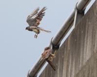 若が飛ぶ、、 - ぶらり探鳥