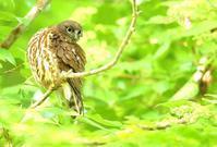 アオバズク - 北の野鳥たち