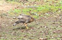 地上で餌を貰う幼鳥 - barbersanの野鳥観察