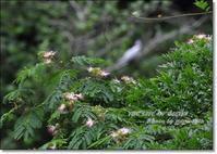 合歓の花がらみで、ヤマセミの撮影できたかな - THE LIFE OF BIRDS --- 野鳥つれづれ記