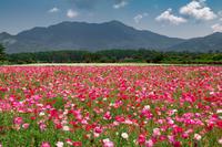 ポピー畑 - 風景写真家みっちいいい