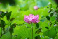 万博公園のハスの花@2017-07-09 - (新)トラちゃん&ちー・明日葉 観察日記