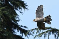 オオタカ 07月09日 - 旧サンヨン(Nikon 300mm f/4D)野鳥撮影放浪記