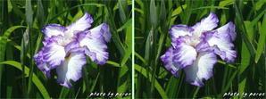 花菖蒲園の開花を3D(立体画像)でお楽しみください。 - デジカメ散歩悠々
