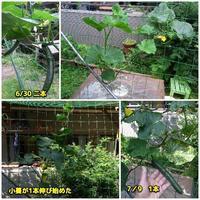 キュウリ水耕栽培 - ■■ Ainame60 たまたま日記 ■■