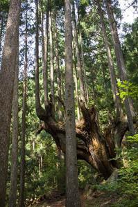 21世紀の森公園の株杉 - 尾張名所図会を巡る