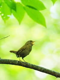 野鳥の森のミソサザイ - コーヒー党の野鳥と自然 パート2