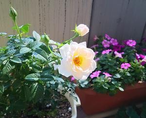 バラが生き返りました! - ジュエリーアドバイザーのひ・と・り・ご・と