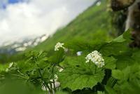 栂池自然園の花 その2 - 花鳥風景
