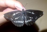 黒いオオミスジ - 蝶と