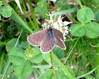 黒いヒメシジミ - 蝶と