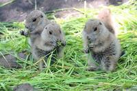 上野動物園:プレーリードッグの子供たち~生き埋めドッグ - 続々・動物園ありマス。