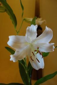 庭の花、カサブランカ - g's style day by day ー京都嵐山から、季節を楽しむ日々をお届けしますー