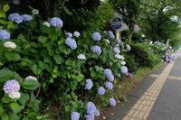 紫陽花 散歩編 - Yesterday's*note