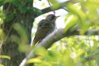 アオゲラ巣立ち&トラツグミの小さなヒナ - 四十雀の欣幸 ~野鳥写真日記~