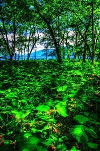 湖畔のクワズイモ - 風の香に誘われて 風景のふぉと缶