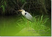 アオサギの英名は、グレー ヘロン 「 Grey Heron : 灰色のサギ 」 - THE LIFE OF BIRDS --- 野鳥つれづれ記