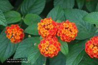 可愛い花のランタナとコンロンカにカメラを(^^♪ - 自然のキャンバス