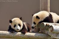 儿童熊猫 - Tom's Photo Gallery~写楽庵~