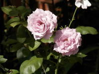 夏季休眠したバラ - 百寿者と一緒の暮らし