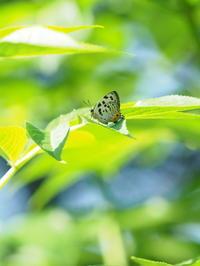 オオムラサキなど - 自然を楽しむ