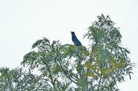 平地の夏鳥ハットトリック - 子連れバーダーの日々 BLOG