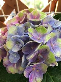 紫陽花植え替え - おうちやさい