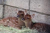 ヤクシカの赤ちゃん - 動物園放浪記