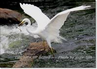亜種チュウダイサギが、夏鳥として観察される - THE LIFE OF BIRDS --- 野鳥つれづれ記