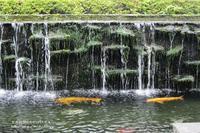 涼しそうな綺麗な鯉が良いですね!(^^)! - 自然のキャンバス