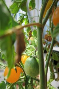 ミニトマトを収穫 - tony☆