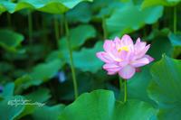 夏の華 - jumhina biyori*