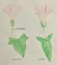 #植物スケッチ 『小昼顔・昼顔』 - スケッチ感察ノート