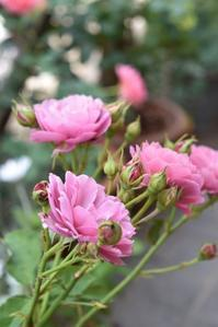 薔薇あおいと庭を見守るワンコ - 小さな庭 2