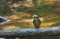 水場のアカゲラ - 上州自然散策2