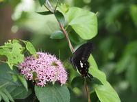 モンキアゲハ - 風の翅