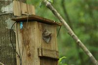 オオコノハズク IIHI 巣立ちの日 - おらんくの自然満喫
