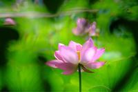 先日、行田へ蓮を見に…。 - ルンコたんとワタシの心模様