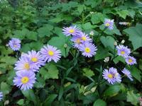 ボルドーギク - ろりぽりの花