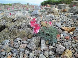 上信越 涼を求めてコマクサ咲く草津白根山     Mount Kusatsushirane in J?shin'etsu-k?gen NP - やっぱり自然が好き