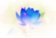 古代蓮の里_3 - Blue Moon