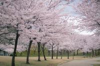 桜 - どーいね!!