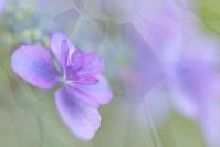 能護寺の紫陽花 16 - 光 塗人 の デジタル フォト グラフィック アート (DIGITAL PHOTOGRAPHIC ARTWORKS)