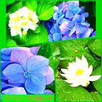 紫陽花(あじさい)の 色七変化 - グリーンノート マクロビカフェ&土の音(オカリナ工房)